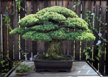 Bonsai di 400 anni ha ripreso a vivere dopo i bombardamenti di Hiroshima