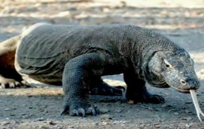 Drago di Komodo: 13 curiosità su uno degli animali più letali