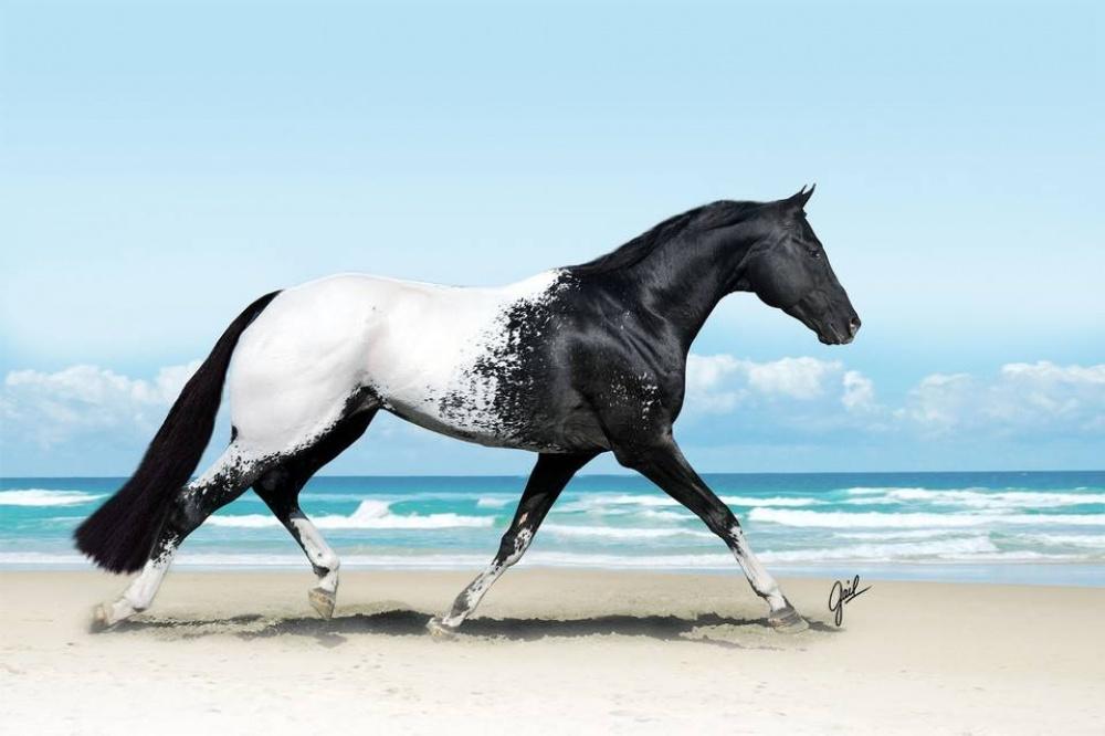Foto del cavallo di razza Appaloosa