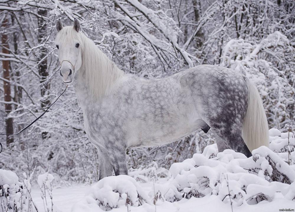 Foto del cavallo di razza Orlov