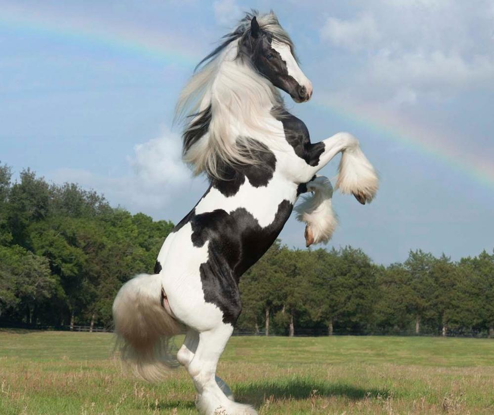Foto del cavallo di razza Gypsy