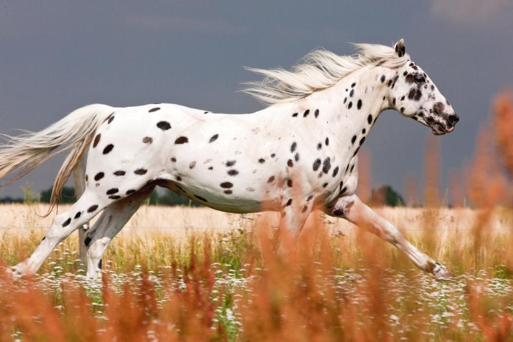 Foto del cavallo di razza Knabstrupper