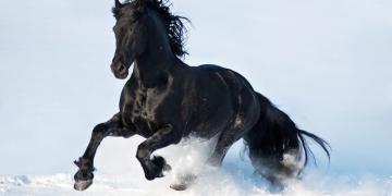 Foto del cavallo di razza Frisone