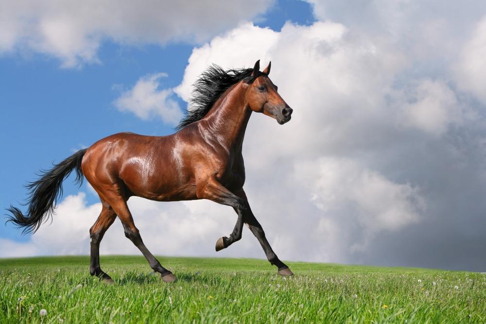 Foto del cavallo di razza Trakehner