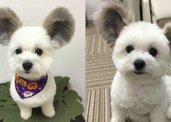 Tutti sull'Internet si stanno innamorando di questo cane con le orecchie come Topolino