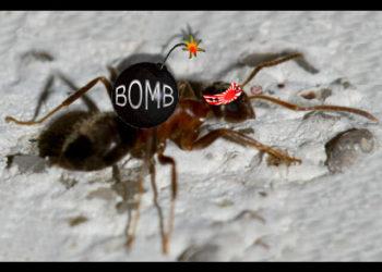 Scoperta la formica kamikaze: si fa esplodere per proteggere simili e colonia