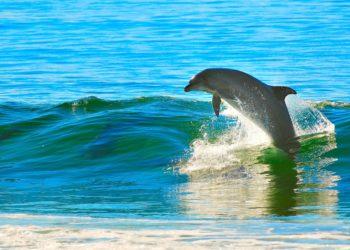 Il delfino in calore molesta i bagnanti, chiusa la spiaggia di Landévennec
