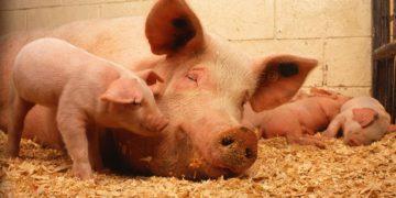 la spagna ha più maiali che umani