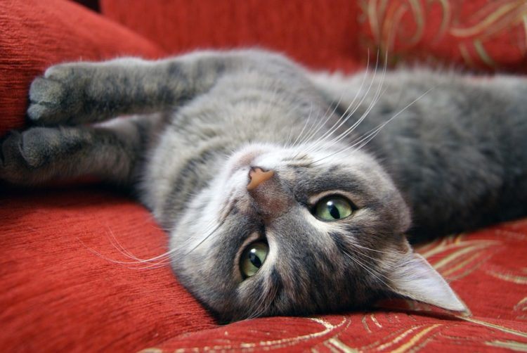 Come capire il comportamento e linguaggio del gatto
