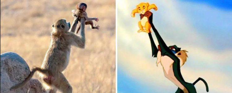 Una scimmia imita la scena del Re Leone, il cerchio della vita  e diventa virale