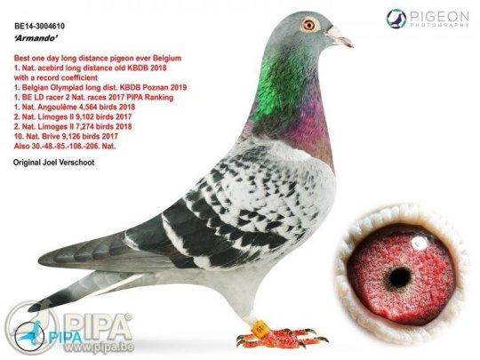 Armando è il piccione da record venduto all'asta per 1.200.000 €